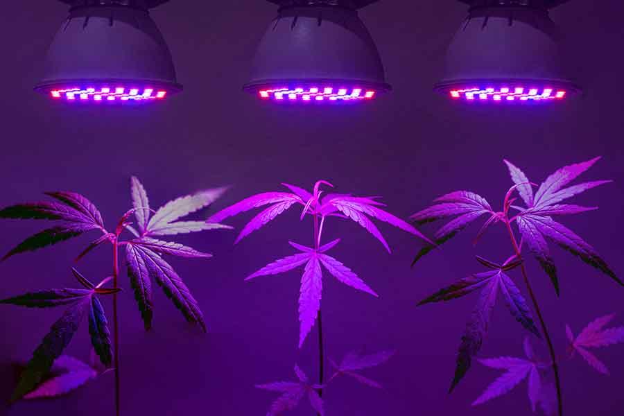 Iluminar el cannabis
