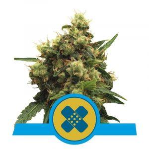 Painkiller XL CBD feminizado Royal Queen Seeds