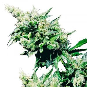 Hash Plant Sensi Seeds